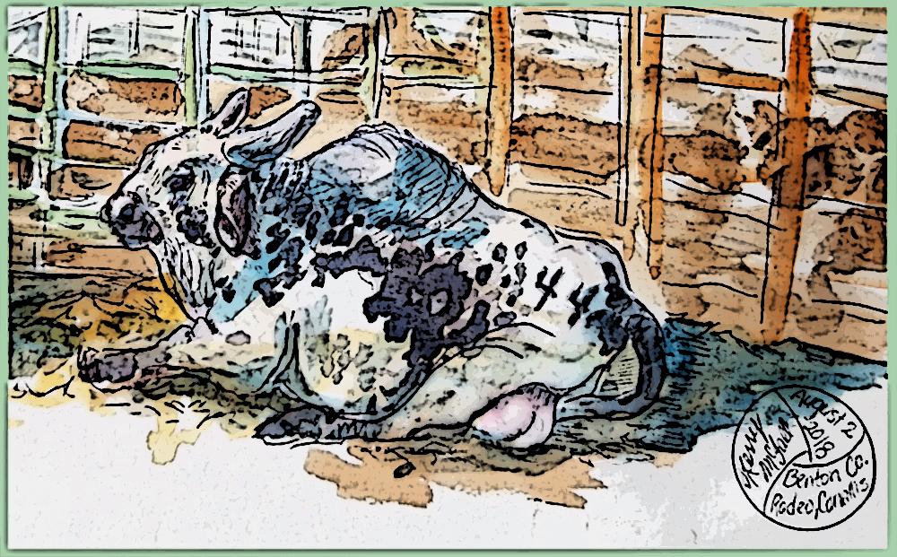 brahma bull lying down