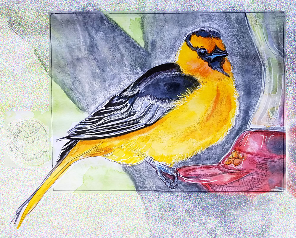 Oriole drawing/painting